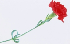 精品花卉系列-单株图片