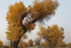 新疆胡杨木图片