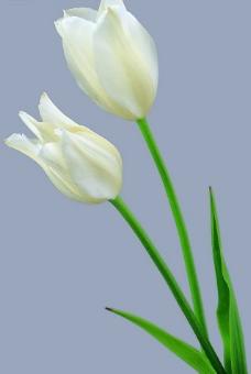 白色郁金香2图片