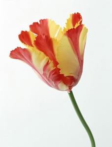 2色郁金香图片